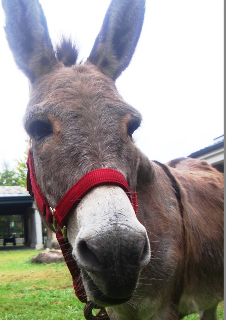 Margaret the Donkey